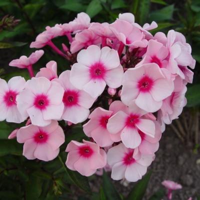 Phlox paniculata  'Betty Vulcano' -