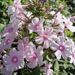 Phlox paniculata 'Eden Tuin'  - Vlambloem, floks - Phlox paniculata 'Eden Tuin'