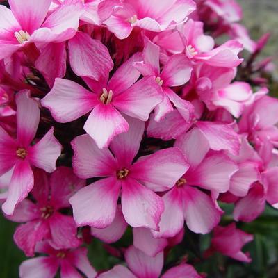 Phlox paniculata 'Miss Elie' -