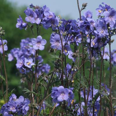 Polemonium yezoense var. hidakanum 'Bressingham Purple' -