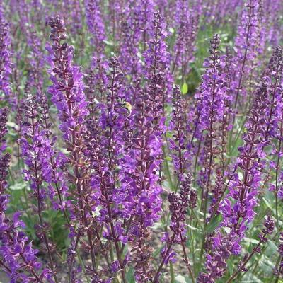 Salvia nemorosa 'JS Slimming Blue' -