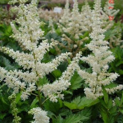 Astilbe chinensis 'Vision in White' -