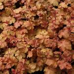Heuchera CARNIVAL 'Coffee Bean' - Purperklokje