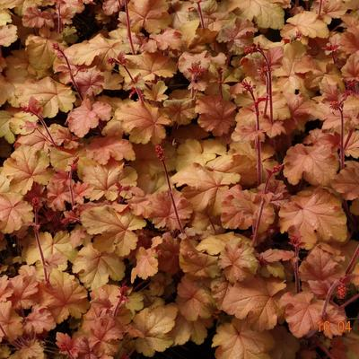 Heuchera CARNIVAL 'Coffee Bean' -