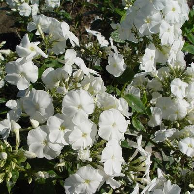 Phlox paniculata 'Monte Cristallo'  -