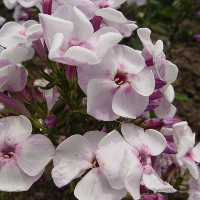 Phlox paniculata 'Pallas Athene' -