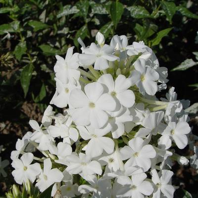 Phlox amplifolia 'Weisse Wolke' -