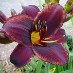 Hemerocallis 'Sweet Hot Chocolate'  - Daglelie, Eéndagsbloem