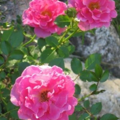 Rosa 'Zwergkönigin 82' -