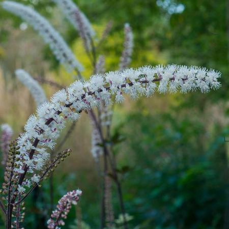 Actaea simplex 'Pink Spike'