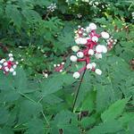 Actaea pachypoda - Actaea pachypoda - Christoffelkruid