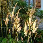 Actaea japonica 'Cheju-do' - Actaea japonica 'Cheju-do' - Christoffelkruid, Zilverkaars