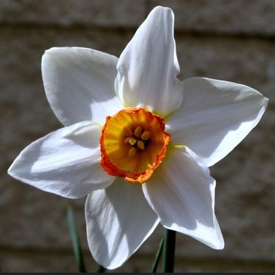 Narcissus 'Actaea' -