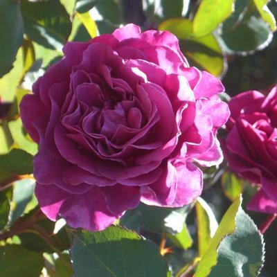 Rosa 'Blackberry Nip' -