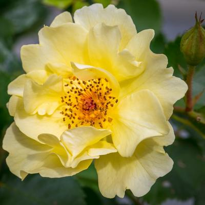 Rosa 'Golden Showers' - Roos, Klimroos