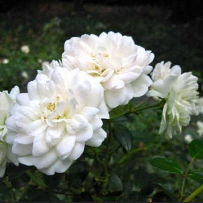 Rosa 'Sea Foam' -