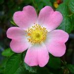 Rosa canina - Hondsroos - Rosa canina