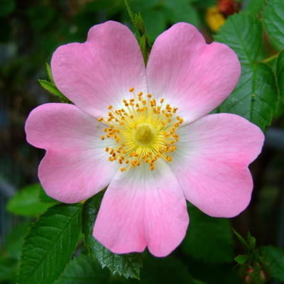 Rosa canina -