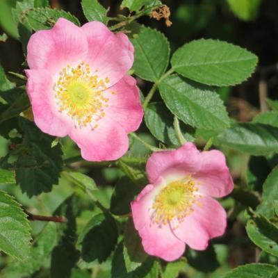 Rosa rubiginosa -