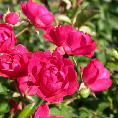Rosa 'Fairy Queen' -