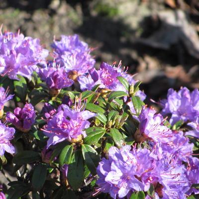 Rhododendron impeditum 'Blue Diamond' -