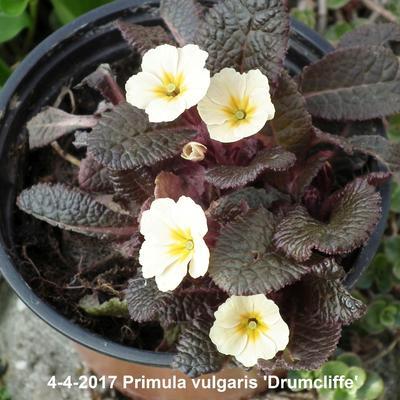 Primula vulgaris 'Drumcliffe' -