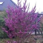 Cercis chinensis 'Avondale' - Cercis chinensis 'Avondale' - Chinese judasboom