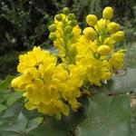 Mahonia aquifolium - Mahoniestruik - Mahonia aquifolium