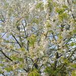 Prunus avium 'Burlat' - Kerselaar, Kersenboom - Prunus avium 'Burlat'