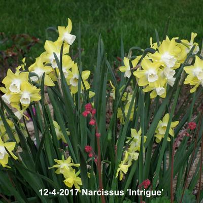 Narcissus 'Intrigue'