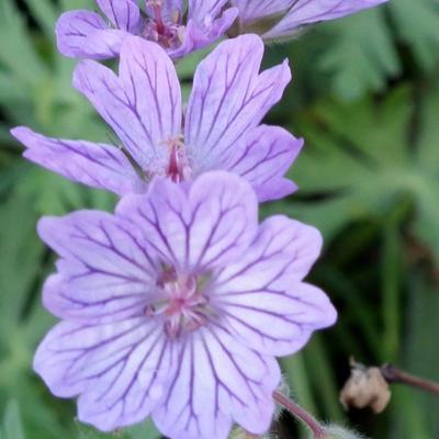 Geranium tuberosum -