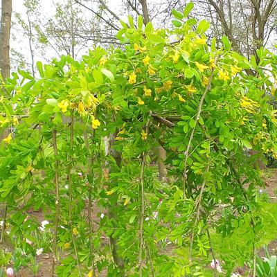 Caragana arborescens 'Pendula' -