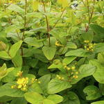 Hypericum  'Excellent Flair' - Hypericum  'Excellent Flair' - Hertshooi