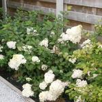 Hydrangea paniculata 'Sundae Fraise' - Hortensia, pluimhortensia - Hydrangea paniculata 'Sundae Fraise'