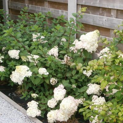 Hydrangea paniculata 'Sundae Fraise' -