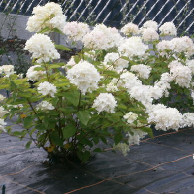 Hydrangea paniculata 'Bombshell' -