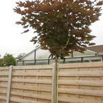 Acer platanoides 'Crimson Sentry' - Noorse esdoorn noorse bolesdoorn - Acer platanoides 'Crimson Sentry'