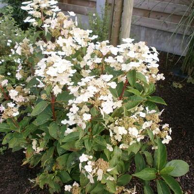 Hydrangea paniculata 'Dharuma' -