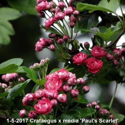 Crataegus x media 'Paul's Scarlet' -