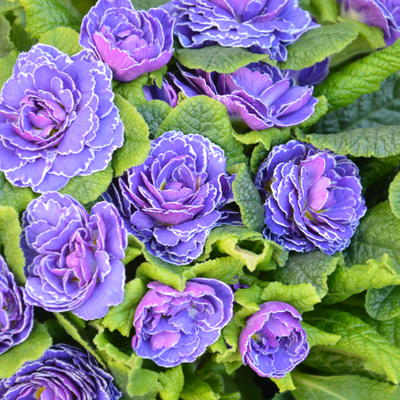 Primula vulgaris BELARINA 'Cobalt Blue' -