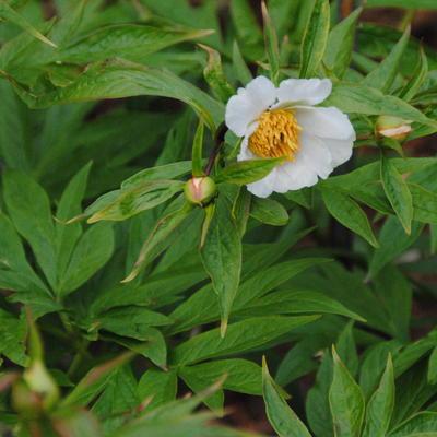 Paeonia emodi  -