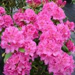 Rhododendron 'Claudine' - Rododenderon