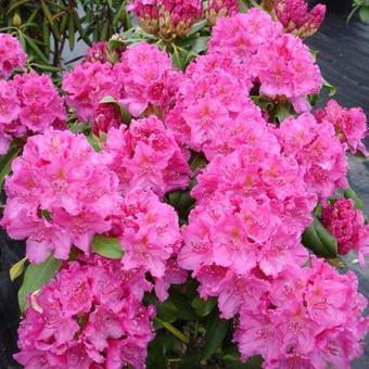 Rhododendron 'Claudine'