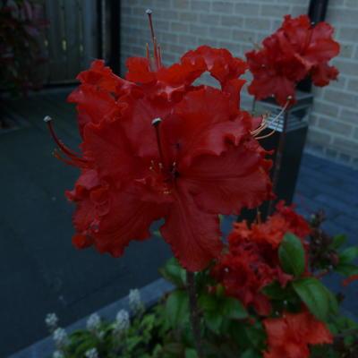 Rhododendron 'Gibraltar' -