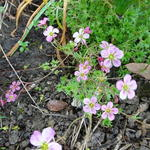 Saxifraga arendsii 'Carpet Pink' - Mossteenbreek - Saxifraga arendsii 'Carpet Pink'