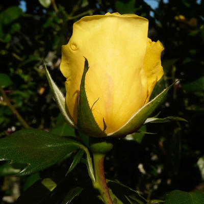 Rosa 'Mrs. Arthur Curtiss James' -
