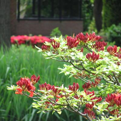 Rhododendron 'Feuerwerk' -