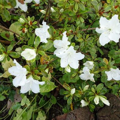Rhododendron 'Pleasant White' -
