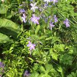 Phlox divaricata subsp. laphamii - Phlox divaricata subsp. laphamii - Kruipphlox