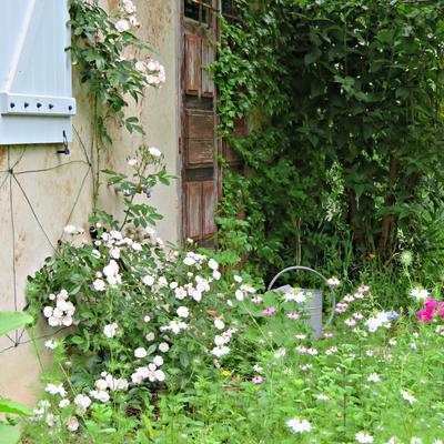 Rosa 'Dentelle de Malines' -